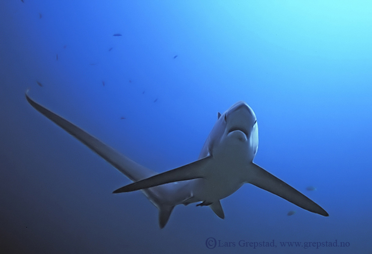 thresher-shark-1